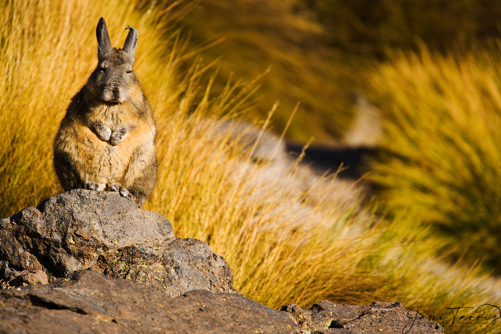 A wild vizcacha (Lagostomus maximus), rodent of the chinchilla family,sitting on a rock to get warm in the morning sun, Chinchillidae, Salar de Surire, Chilean Andes,South America