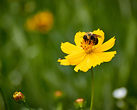 Bumblebee on a yellow Cosmos flower. Backyard summer nature in New Jersey. Image taken with a Nikon 1 V3 camera and 70-300 mm VR telephoto zoom lens (ISO 400, 300 mm, f/5.6, 1/640 sec).