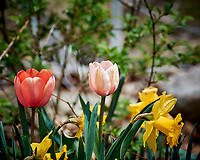 Tulip and Daffodil. Image taken with a Nikon 1 V3 camera and 70-300 mm VR lens.