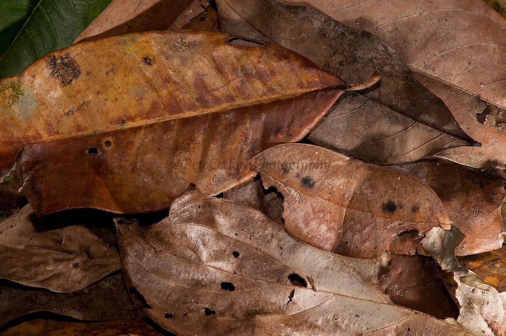 Cramer's Hookwing Moth (Oxytenis mirabilis)<br /> Yasuni National Park, Amazon Rainforest<br /> ECUADOR. South America<br /> HABITAT & RANGE: