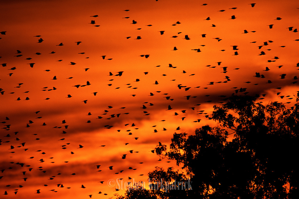 Grackles departing swamp at dawn - Mississippi