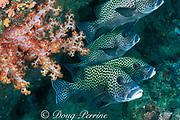 harlequin sweetlips, Plectorhinchus chaetodonoides, <br /> Sipadan Island, Borneo, Sabah, Malaysia,<br /> ( Celebes Sea, Western Pacific Ocean )