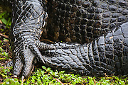 Details of the feet and scales of an American Alligator (Alligator mississippiensis) along the Anhinga Trail in Everglades National Park, Florida.