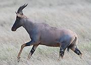 A male topi (Damaliscus lunatus jimela) runs through dry grass. Serengeti National Park, Tanzania.