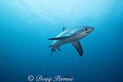 male pelagic thresher shark or fox shark, Alopias pelagicus, Monad Shoal, off Malapascua, Cebu, Philippines  ( Visayan Sea, Western Pacific Ocean )