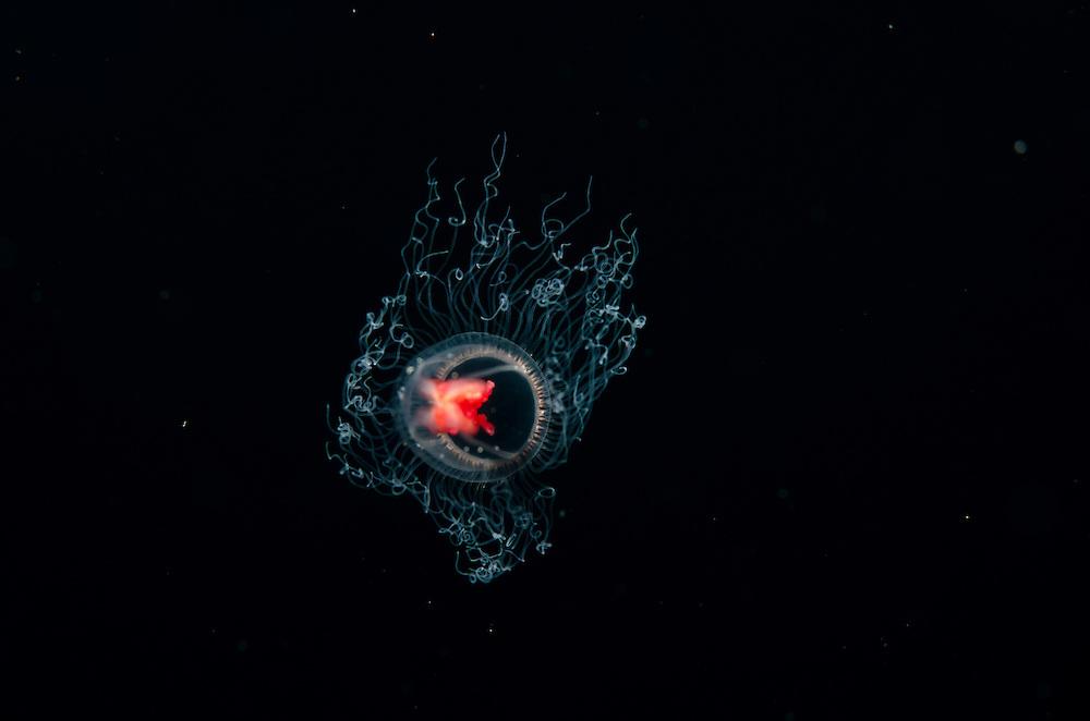 Turritopsis sp, Unknown