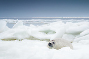 Young grey seal (Halichoerus grypus) cub on ice in Gulf or Riga, Latvia Ⓒ Davis Ulands | davisulands.com
