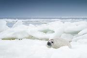 Young grey seal (Halichoerus grypus) cub on ice in Gulf or Riga, Latvia Ⓒ Davis Ulands | davisulands.com