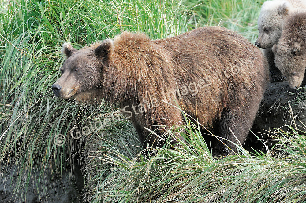 A female or sow with cubs checks out the local fishing hole.  <br /> <br /> Brown Bears and Grizzly Bears are the same species. In general Bears living within 50 miles of the coast are considered browns. Animals living further inland are considered Grizzlies.  <br /> <br /> Grizzlies are omnivores feeding on a variety of plants berries roots and grasses in addition to fish insects and small mammals. Salmon are a key part of their diet. Normally a solitary animal they will congregate along streams and rivers during Salmon runs. Weight to over 1200 pounds.    <br />  <br /> Range: Native to Asia Africa Europe and North America. Now extinct in much of their original range.    <br />   <br /> Species: Ursus arctos