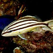 Cottonwick, juvenile, inhabit reefs in Tropical West Atlantic; picture taken Little Cayman.