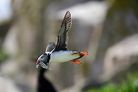 Flying Puffin (Fratercula arctica) with fish Saltee Island Ireland