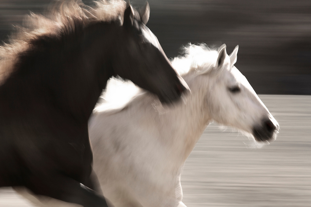 ASTILA MEANS FIRE IN CHEROKEE.<br /> <br /> WHEN I SET OUT TO PHOTOGRAPH THE WILD MUSTANGS FOR MY SECOND SERIES I HAD ONLY TWO GOALS. FIRST,  TO BE FULLY PRESENT AND IN THE MOMENT TO MYSELF, THE ENVIRONMENT AND THE ANIMALS I WAS PHOTOGRAPHING. AND SECONDLY, TO GET GREAT BLURR. TO NAIL A GOOD BLUR OF RUNNING WILD ANIMALS IN AN UNCONTROLLABLE AND CONSTANTLY CHANGING ENVIRONMENT IS PRETTY CHALLENGING TO SAY THE LEAST.  I WAS THRILLED WITH THESE IMAGES. MY GOAL WAS TO CAPTURE MOVEMENT, COMPOSITION, AND SHAPE SO THAT THE WILD MUSTANGS TOOK ON MORE OF A 'FINE ART' FEEL - MORE CONCEPTUAL. THIS SHOT IS STRAIGHT FROM THE CAMERA, THERE IS NO POST RETOUCHING TO CREATE THESE LINES, MOVEMENT, OR TEXTURES.<br /> <br /> I NAMED THREE OF MY BLURR IMAGES IN THIS SERIES EARTH, WIND AND FIRE.  THE LIGHT, TONES, AND TEXTURES COMING FROM THE DARKER HORSES MANE REMINDS ME OF FLAMES FROM A FIRE.