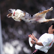 Pram, an Australian Shepherd, leaps to grab a Frisbee as trainer Pon Saradeth watches during the Dog Chow Incredible Dog Challenge competition in San Diego, California.