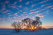 Sunset on Manitoba maple trees   (Acer negundo) <br />Oakbank<br />Manitoba<br />Canada