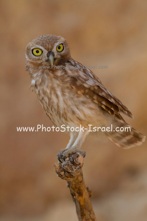 Little owl (athene noctua) perched on a branch. At just 20 centimetres in height this owl is, as its name implies, one of the smallest of its kind. Living off insects, small mammals and small birds. Its habit of hunting at dawn and dusk allows it to prey on both nocturnal and diurnal animals. Photographed in the Negev Desert in June