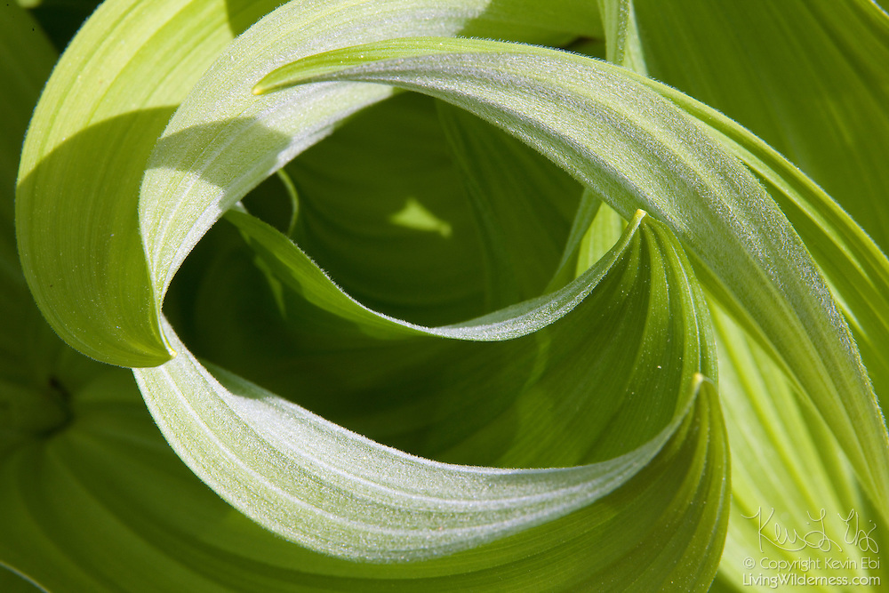The leaves of the poisonous corn lily (Veratrum californicum), otherwise known as a false hellebore, twist into a swirl pattern. Corn lilies are commonly found in forested areas where the soil is consistently moist.