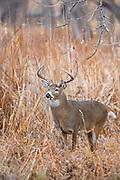 Mature whitetail buck in riparian habitat