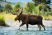 Bull Moose slowly crossing a shallow stream in Grand Teton National Park.