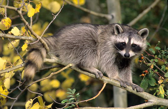 Raccoon, (Procyon lotor) Baby coon in fall colored aspen tree, near rosehip plant. Captive Animal.