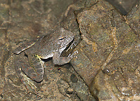 Foothill yellow-legged frog, Rana boylii, in the South Fork of the Eel River, Mendocino County, California