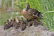 Female Mallard, Anas platyrhynchos, with ducklings, UK, young chicks, sitting on side of riverbank