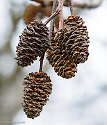 The seeds had already dropped from the alder's pod and they looked just like minuature pine cones.