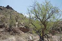 Mesquite, Prosopis sp.  Estes Canyon, Organ Pipe Cactus National Monument, Arizona.