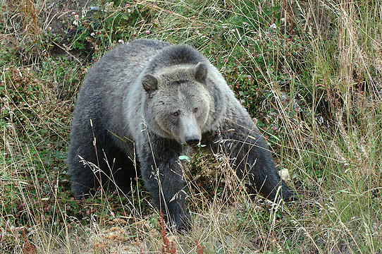 Grizzly Bear, (Ursus horribilis) A female pauses while foraging for plants near the Road in Yellowstone National Park. Fall.