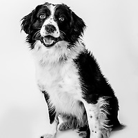 Wilson is a Vehicle Search Dog,  Veterans Portrait Project UK Sennelager Germany