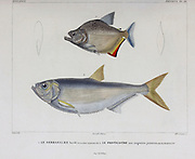 Species of South American fish. hand coloured sketch From the book 'Voyage dans l'Amérique Méridionale' [Journey to South America: (Brazil, the eastern republic of Uruguay, the Argentine Republic, Patagonia, the republic of Chile, the republic of Bolivia, the republic of Peru), executed during the years 1826 - 1833] Volume 5 Part 1 By: Orbigny, Alcide Dessalines d', d'Orbigny, 1802-1857; Montagne, Jean François Camille, 1784-1866; Martius, Karl Friedrich Philipp von, 1794-1868 Published Paris :Chez Pitois-Levrault. Publishes in Paris in 1847