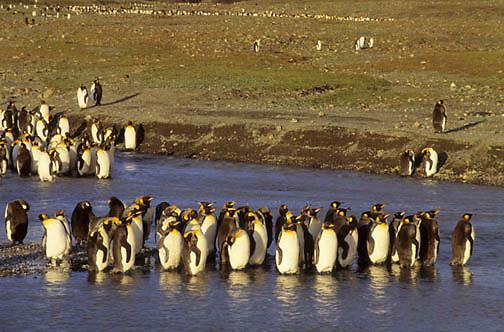 King Penguin, (Aptenodytes p.patagonica) Wading in glacial river. South Georgia Island.