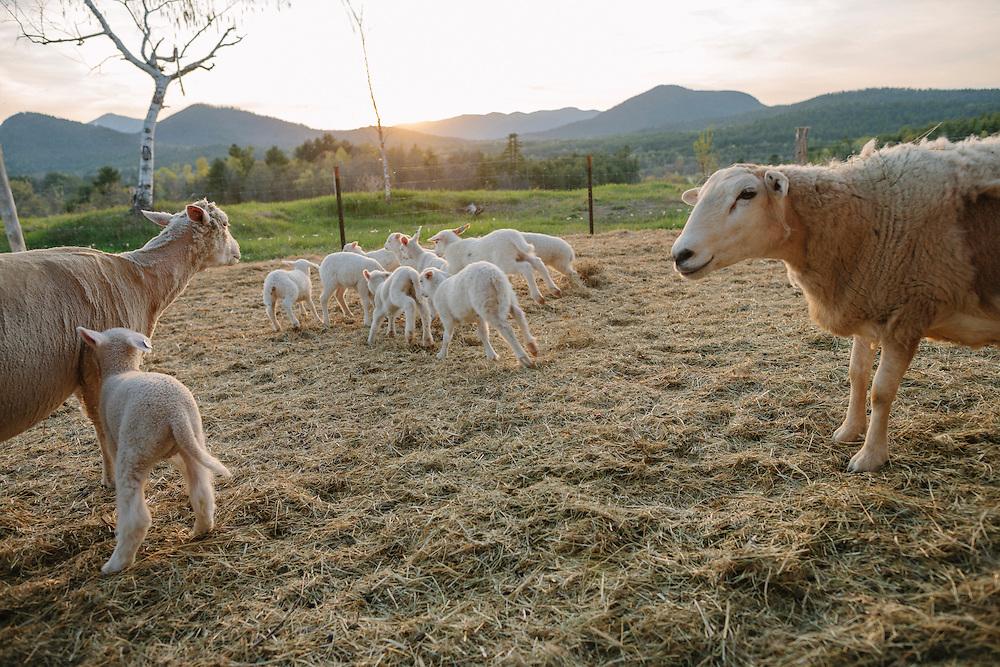 Lambs running around as Ewes watch