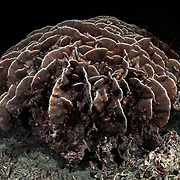 This is a colony of Pavona decussata leaf coral, photographed one day prior to spawning.