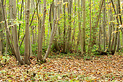 Autumn Colours in Woodland, Ranscombe Farm Nature Reserve, Kent UK, young sweet chestnut & beech trees, leaves, green, yellow