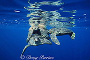 mating green sea turtles, Chelonia mydas, are bumped by another male eager to get in on the action, Sipadan Island, Borneo, Malaysia ( Celebes Sea, Pacific Ocean )