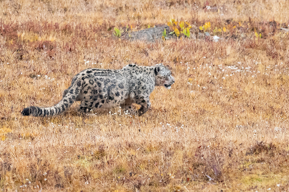 "Snow leopard, Panthera uncia, Angsai nature reserve, ""Valley of the Cats"", Sanjiangyuan National Nature Reserve, Tibetan Plateau, Qinghai, China"