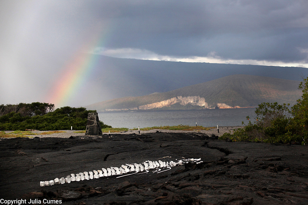 Whale bones are left undisturbed on the lava rock while in the distance, a rainbow arcs up dramatically on Fernandina Island in the Galapagos.