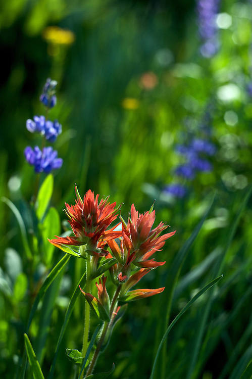 Indian Paintbrush and Lupine adorn Dana Meadows in Yosemite National Park during a summer season in which there was heavy snow melt and flowers late into the season.