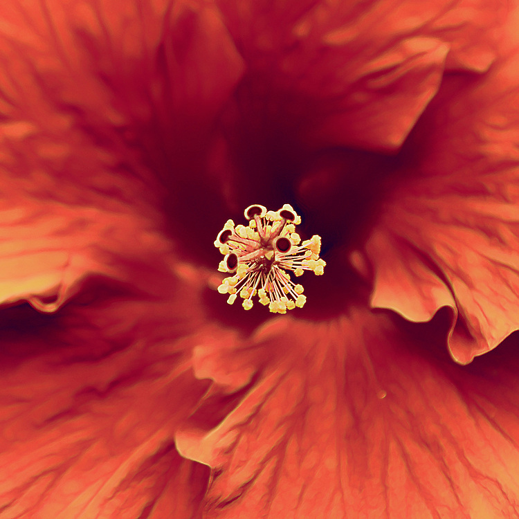 Hibiscus is a genus of flowering plants in the mallow family, Malvaceae. It is quite large, containing several hundred species that are native to warm-temperate, subtropical and tropical regions throughout the world.