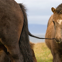 A young icelandic foal playing with its mother's tail, somewhere on Route 711 in north-west Island, between Hvammstangi and Hindisvík.