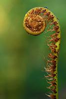 Close up of Ferns budding at Sudián, Tongbiguan nature reserve, Dehong prefecture, Yunnan province, China