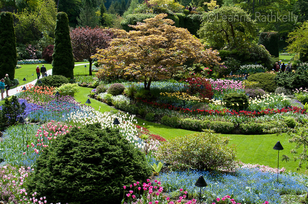 Tulips of all shapes and colors are in bloom in the spring at Butchart Gardens, near Victoria, BC Canada