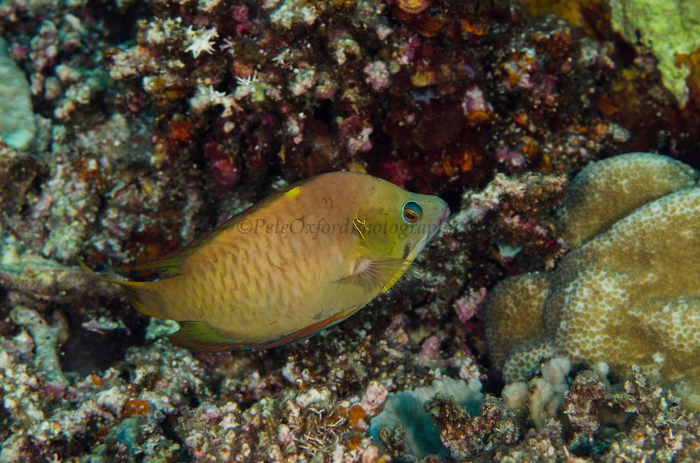 Latent Slingjaw Wrasse (Epibulus brevis)<br /> Cenderawasih Bay<br /> West Papua<br /> Indonesia