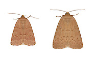 73.078 (2393)<br /> Reddish buff - Acosmetia caliginosa<br /> left= female<br /> right= male