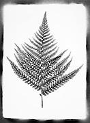 Fern leaf against a white background.