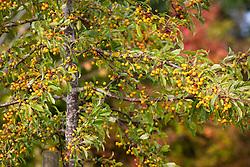 The berries of Malus transitoria AGM.  Crab apple