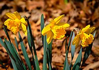 Daffodils. Image taken with a Fuji X-H1 camera and 200 mm f/2 OIS lens and 1.4x teleconverter (ISO 200, 280 mm, f/11, 1/400 sec).