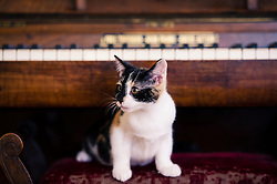 Kitten playing under a piano, England, UK.