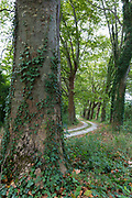 Ivy clad tall plane trees and looming canopy of branches form curve bend on road to nowhere in Aquitaine France