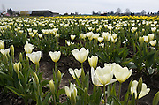 Yellow and white tulip flowers bloom in the Skagit River Delta, Washington, USA.
